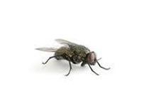 Klustervliegen bestrijden