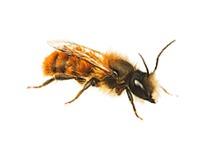 Metselbijen bestrijden