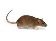 Bruine Rat bestrijden