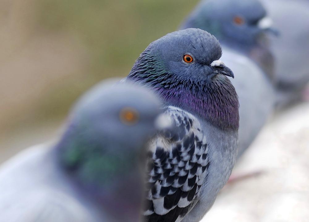 Vogelwering Duiven