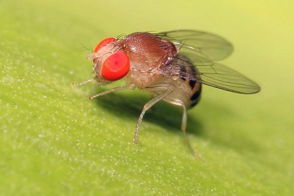 Fruitvliegen