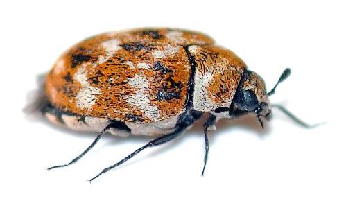 Tapijtkevers bestrijden