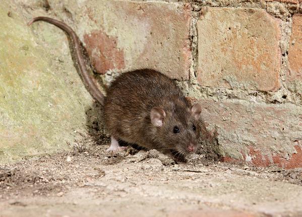Rattenbestrijding Bruine rat Attack