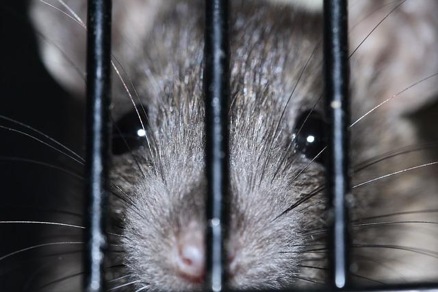 Rattenbestrijding zwarte rat Attack