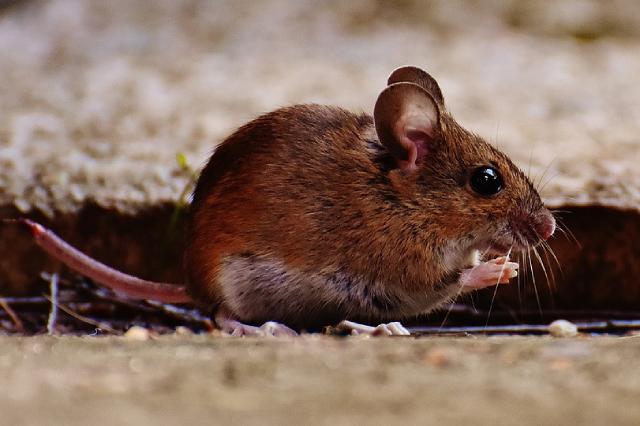 Muizenbestrijding knaagschade